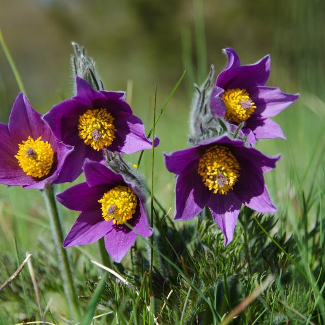 """Pasque flowers group"" stock image"