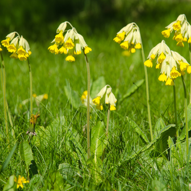 """Beautiful cowslip blossom"" stock image"