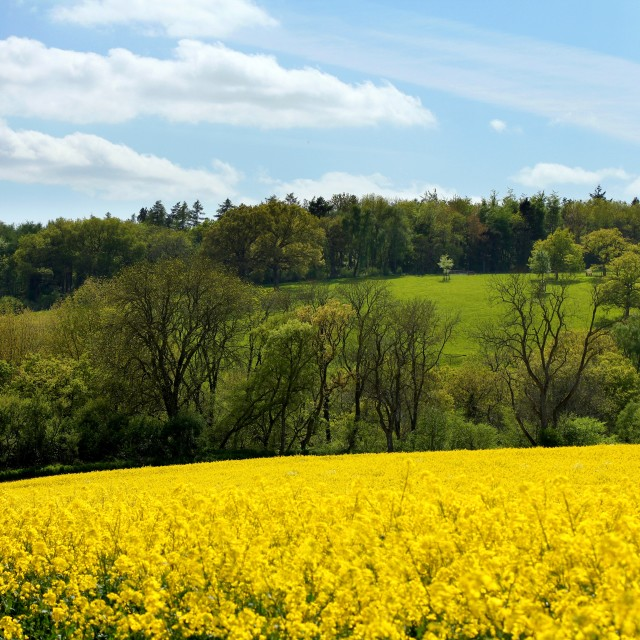 """""""Cotswolds Rapeseed Field and woodland"""" stock image"""
