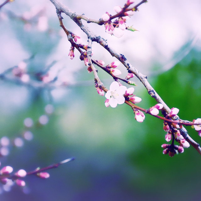 """Sakura Branch Blossoming Out in Spring. Post-Processed Photo"" stock image"