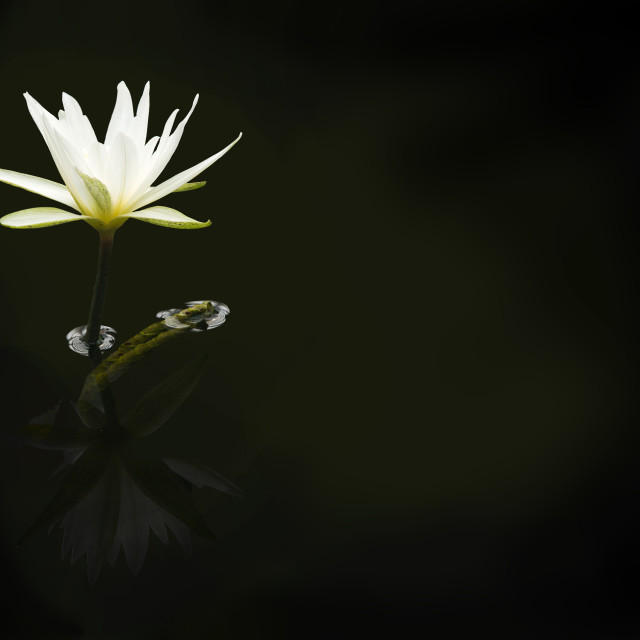 """White waterlily background"" stock image"