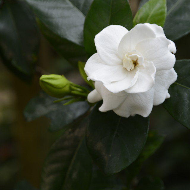 """White gardenia flower"" stock image"