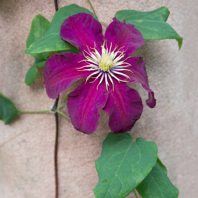 """Dark red purple clematis flower"" stock image"