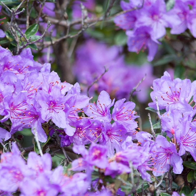 """Purple rhododendron flowers closeup"" stock image"