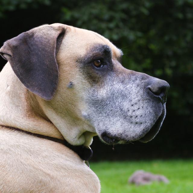 """Older Fawn Great Dane dog"" stock image"