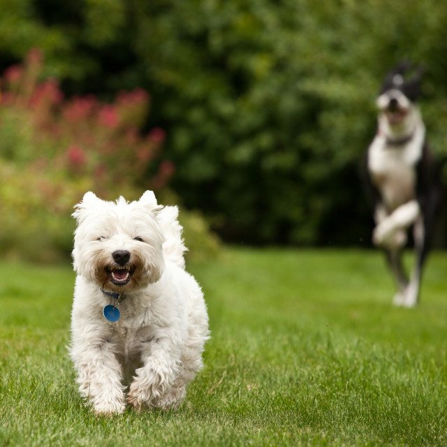 """""""West Highland Terrier being chased by a Great Dane"""" stock image"""