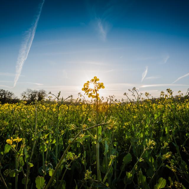 """Field of Sunlight"" stock image"