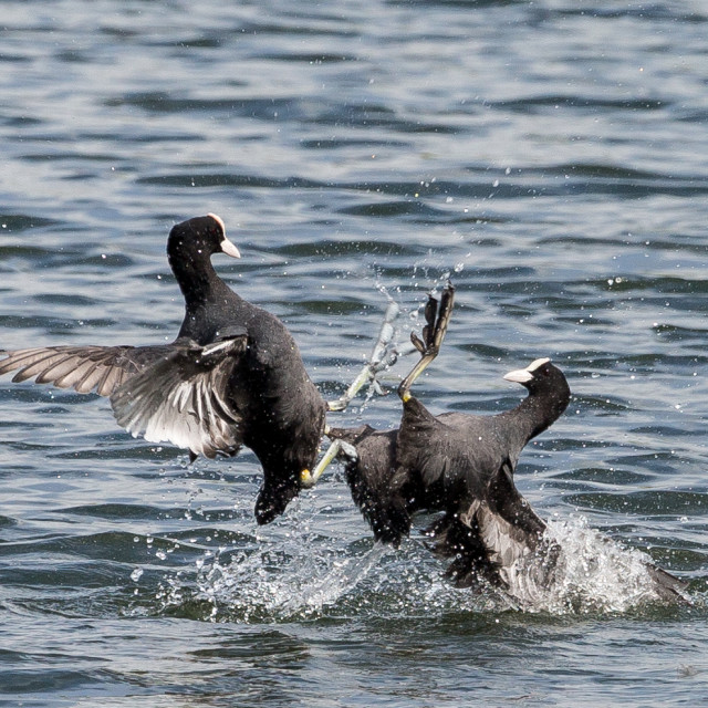"""Coots Fighting"" stock image"
