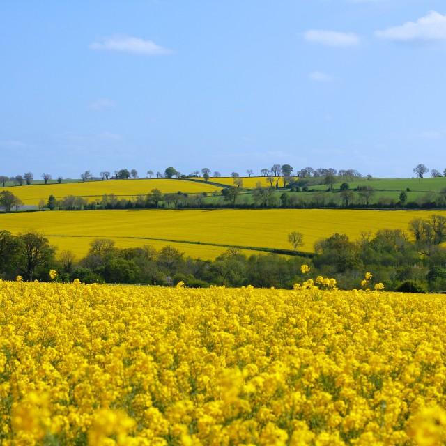 """Canola Rape Seed Fields"" stock image"