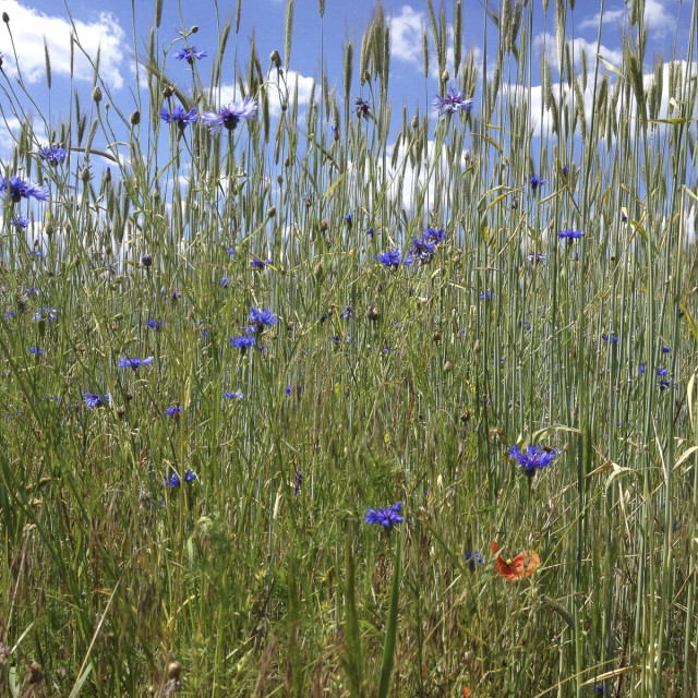 """Cornflowers in a meadow"" stock image"
