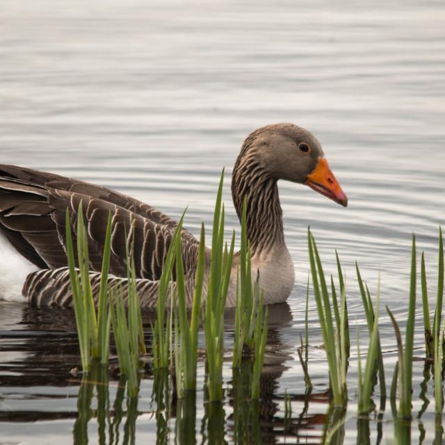 """Goose"" stock image"