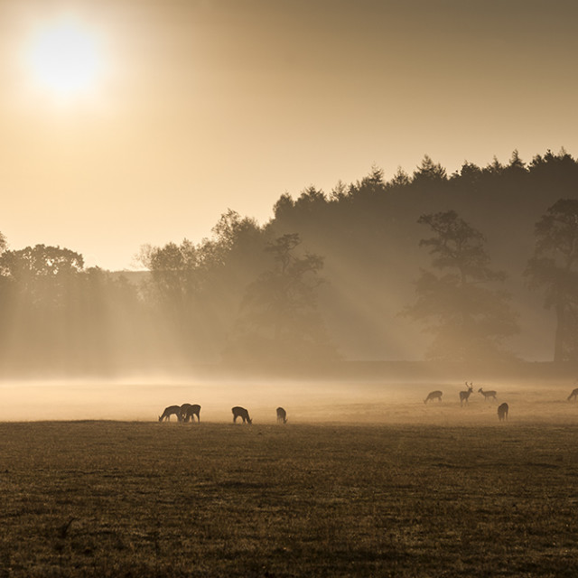 """Early Morning Mist and Feeding Deer England UK"" stock image"