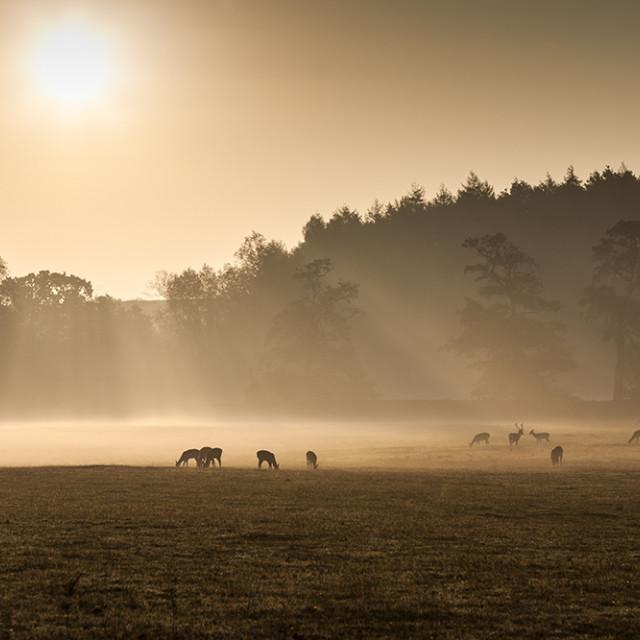 """Early Morning Mist and Feeding Deer England UK"" stock image"