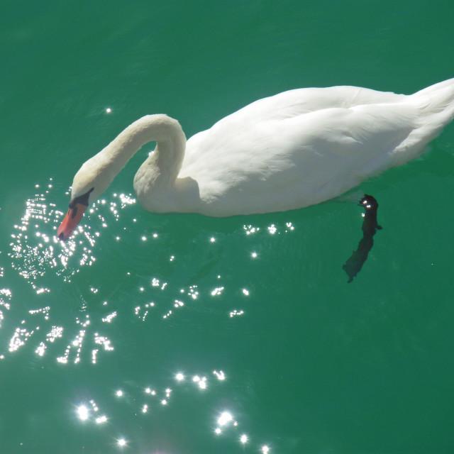 """Swan in sparkling lake"" stock image"