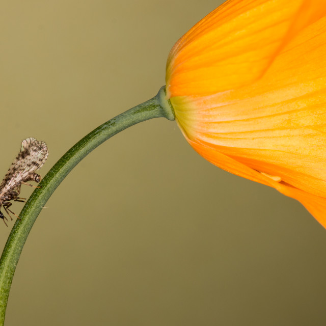 """Brown lacewing"" stock image"