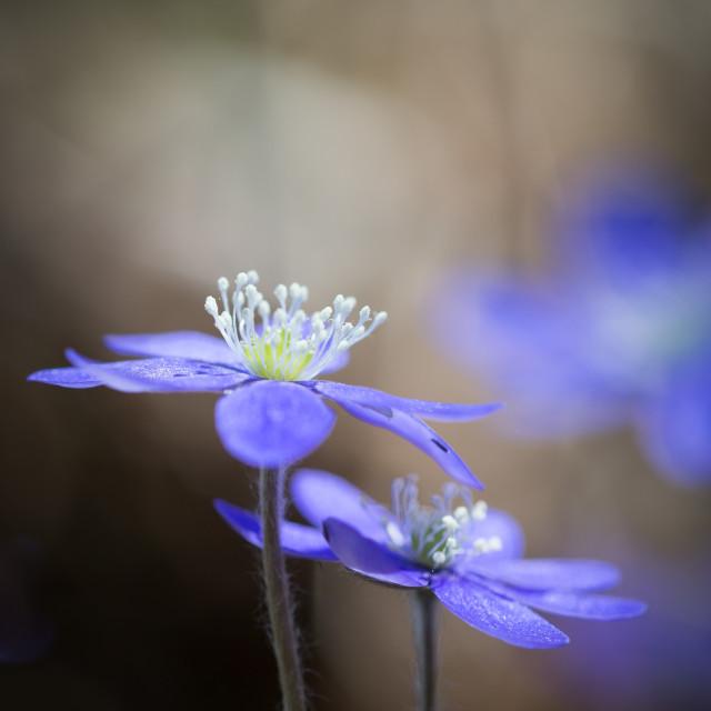 """Hepatica nobilis II"" stock image"