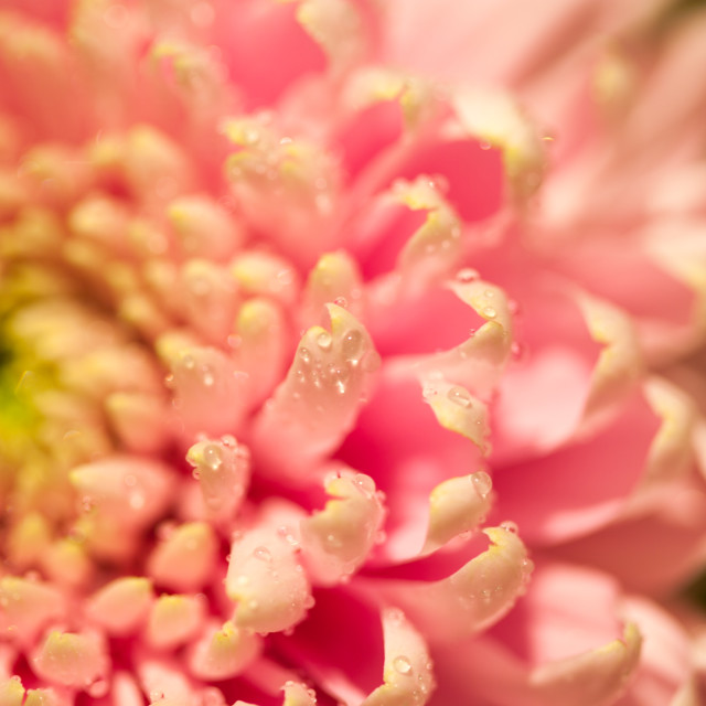 """Pink Chrysanthemum with droplets of water"" stock image"