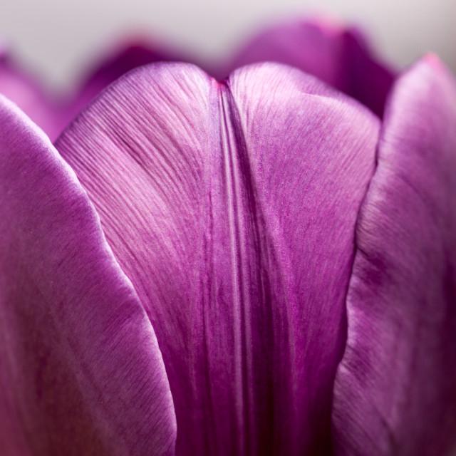 """""""Tulip petals"""" stock image"""