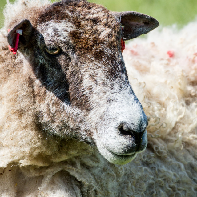 """""""Beulah Speckled-Face Ewe"""" stock image"""