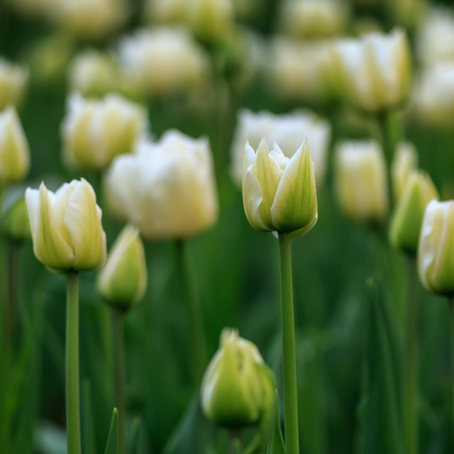 """Tulip flowers"" stock image"
