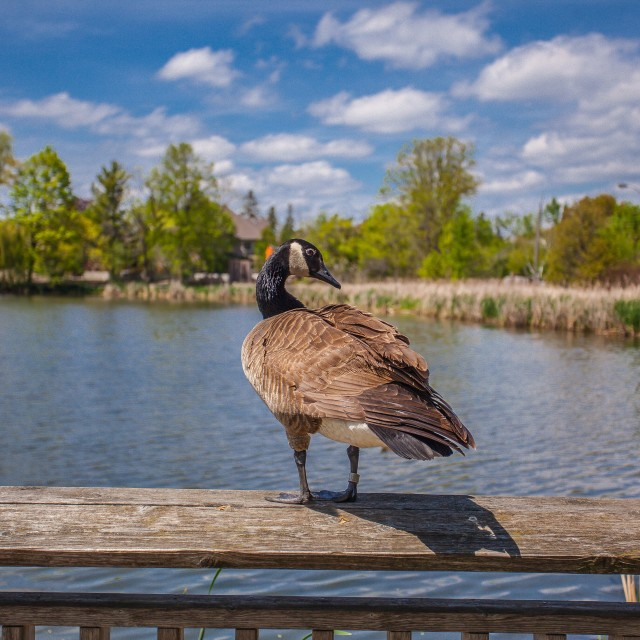 """""""A goose"""" stock image"""