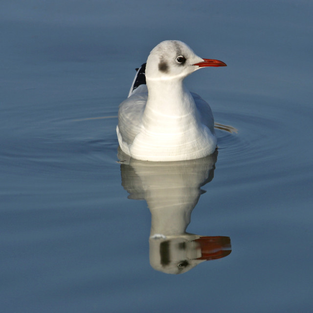 """""""Black-headed Gull and Reflection"""" stock image"""