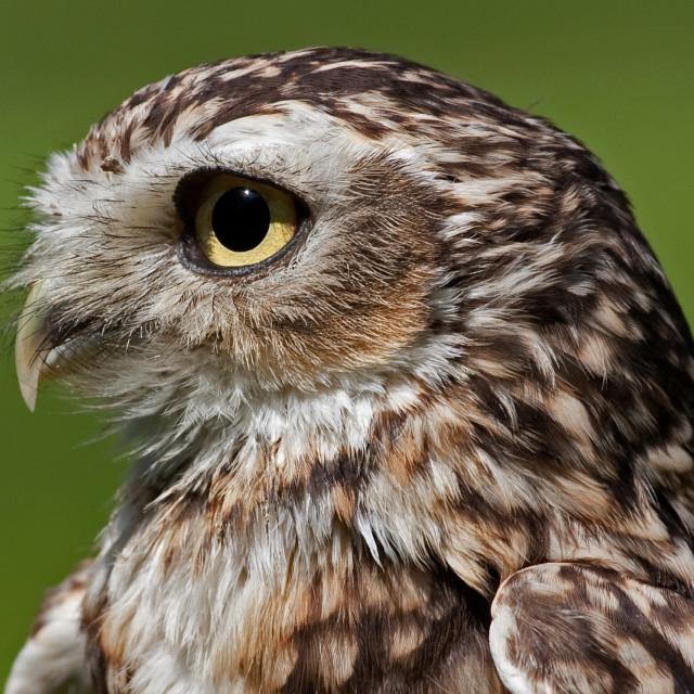 """""""Burrowing Owl Closeup"""" stock image"""