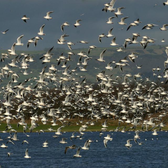 """Flock of Seagulls"" stock image"