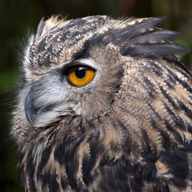 """""""Eagle Owl Closeup 1"""" stock image"""