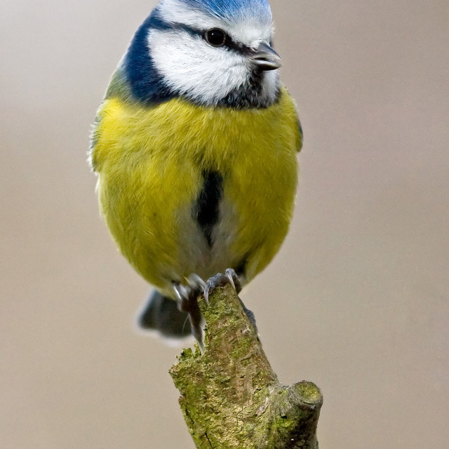 """Blue Tit Perching"" stock image"