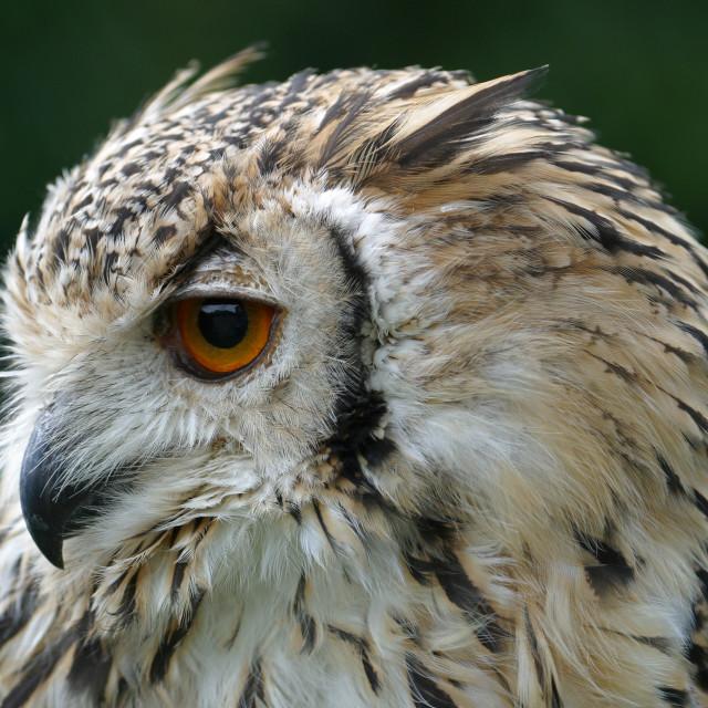 """""""Eagle Owl Closeup 3"""" stock image"""