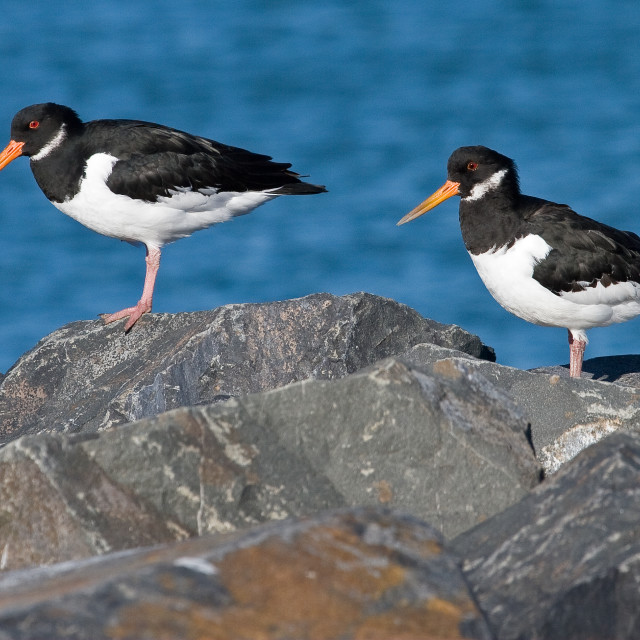 """Oystercatchers on the Rocks"" stock image"