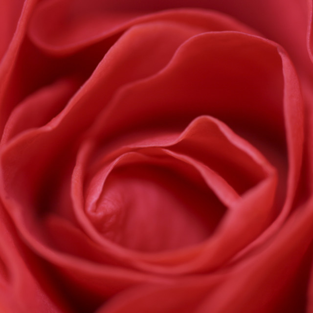 """""""Red Rose / rote rose"""" stock image"""