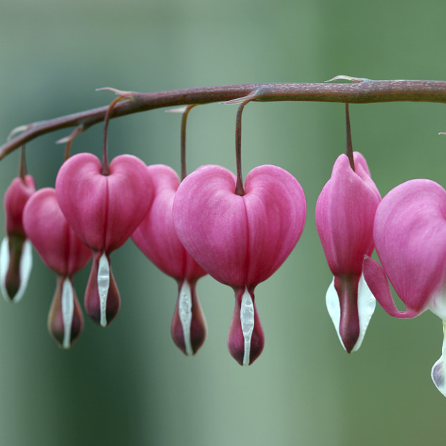 """Bleeding Hearts (Dicentra spectabilis) / Traenendes Herz"" stock image"