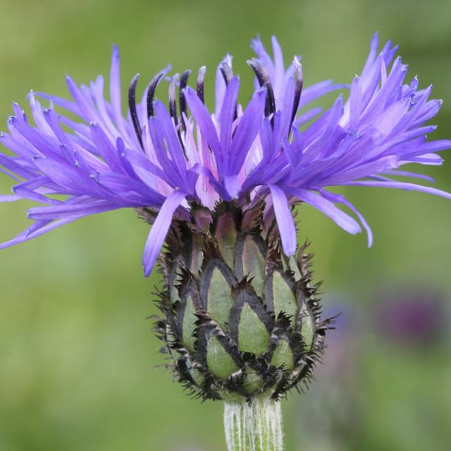"""Cornflower (Centaurea cyanus) / Kornblume"" stock image"