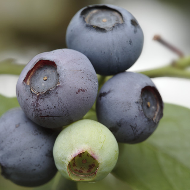 """Blueberries - close up of fruits on bush"" stock image"
