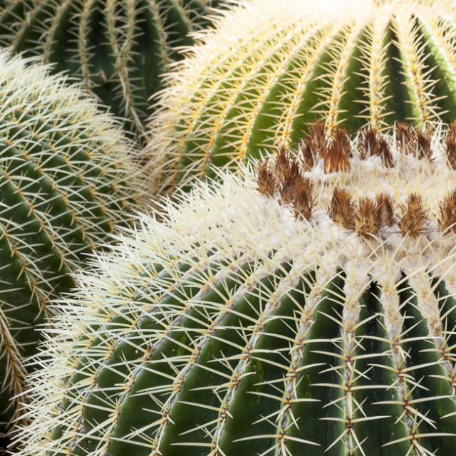 """Echinocactus grusonii,Golden Barrel Cactus"" stock image"