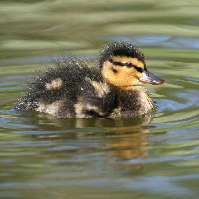 """Mallard Duckling Swimming"" stock image"