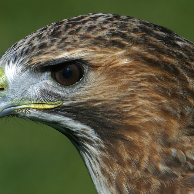 """Red-tailed Hawk Closeup"" stock image"
