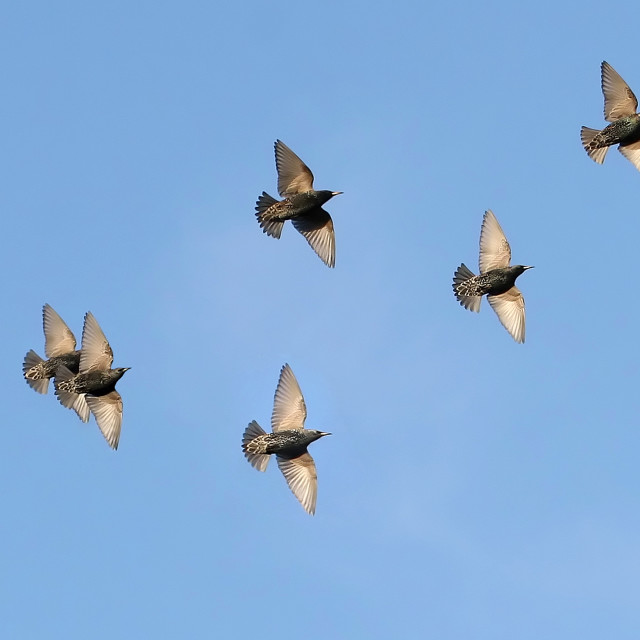 """Starlings in Flight"" stock image"