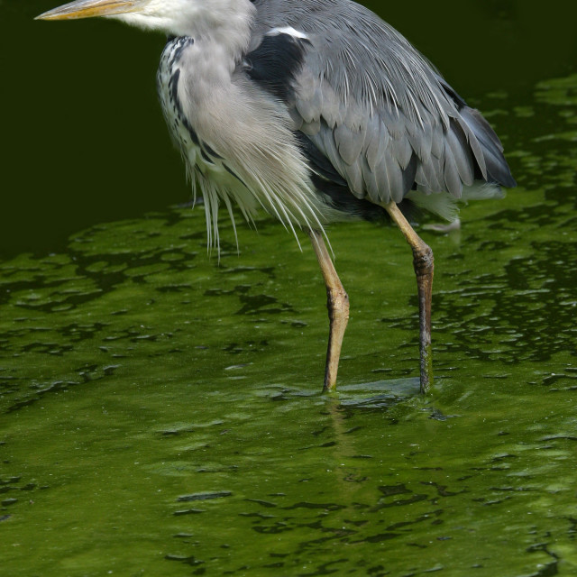 """Grey Heron Wading in Lake"" stock image"