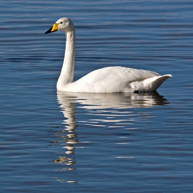 """Whooper Swan Swimming"" stock image"