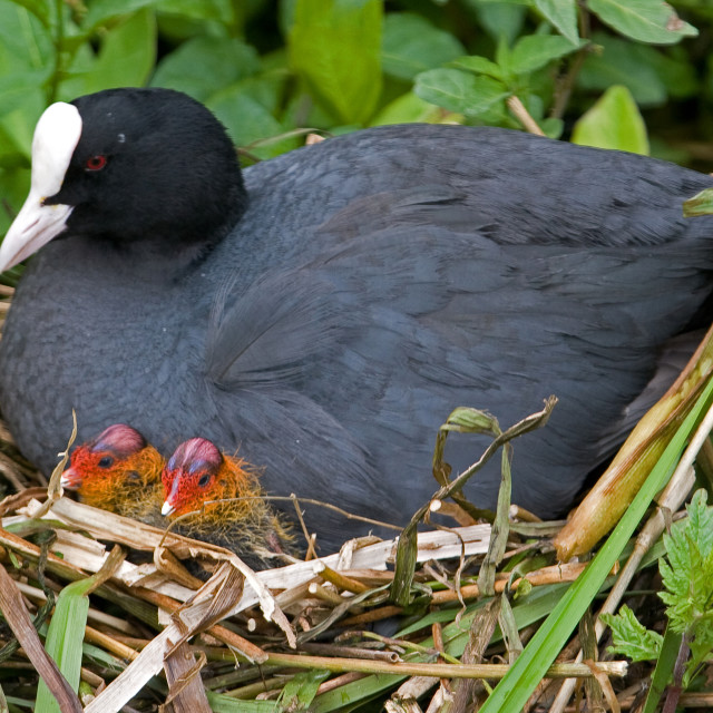 """""""Coot on the Nest with Chicks"""" stock image"""