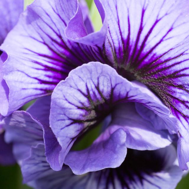 """Viola Flower Macro"" stock image"