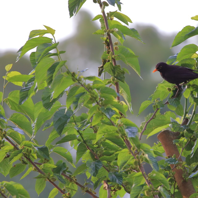 """A common blackbird eating mulberries"" stock image"