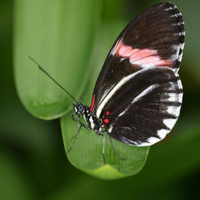 """Hybrid Postman Butterfly on Leaf"" stock image"