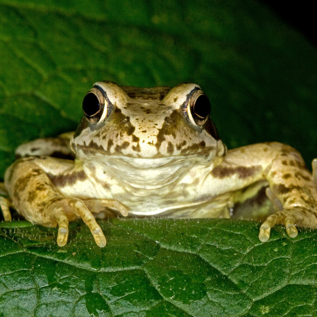 """Common Frog on Leaf"" stock image"