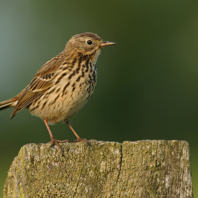 """Meadow Pipit on Post"" stock image"
