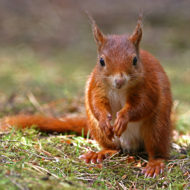 """Red Squirrel on the Ground"" stock image"
