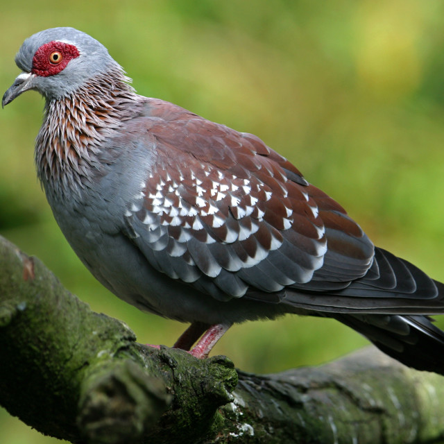"""Speckled Pigeon on Branch"" stock image"